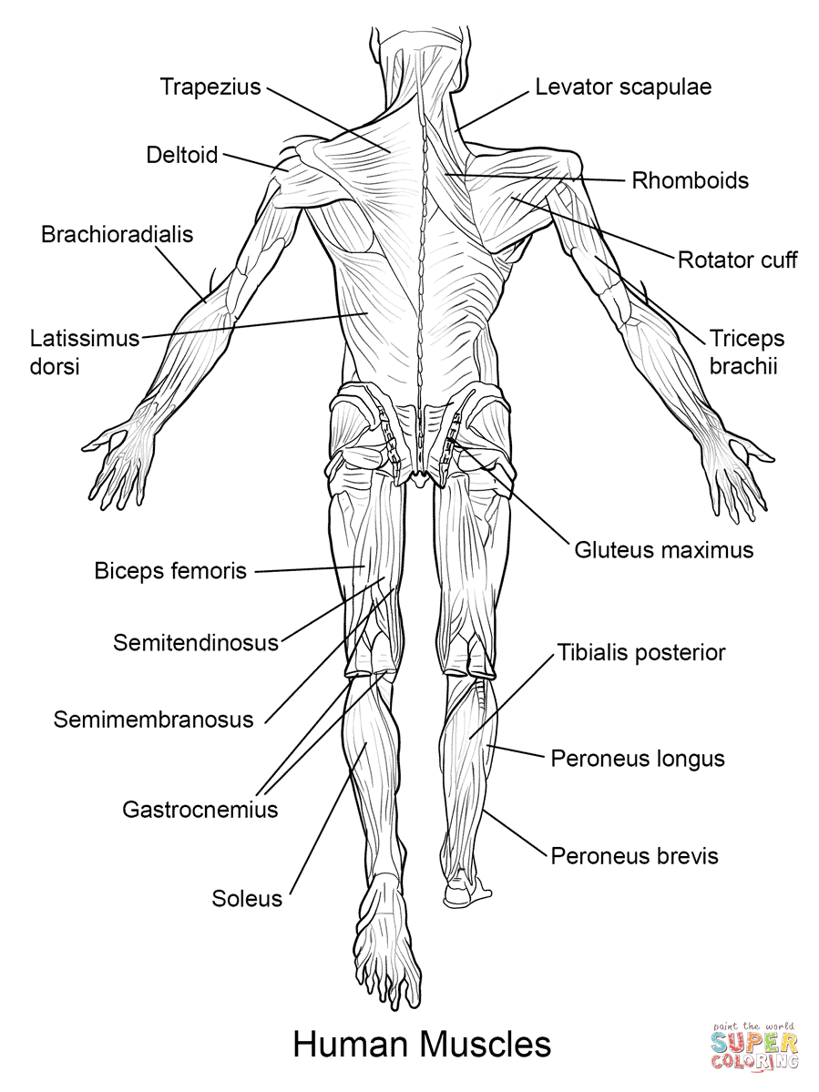 Coloring Pages : Anatomy Coloring Pages Muscles Human Back View Page - Free Printable Human Anatomy Coloring Pages