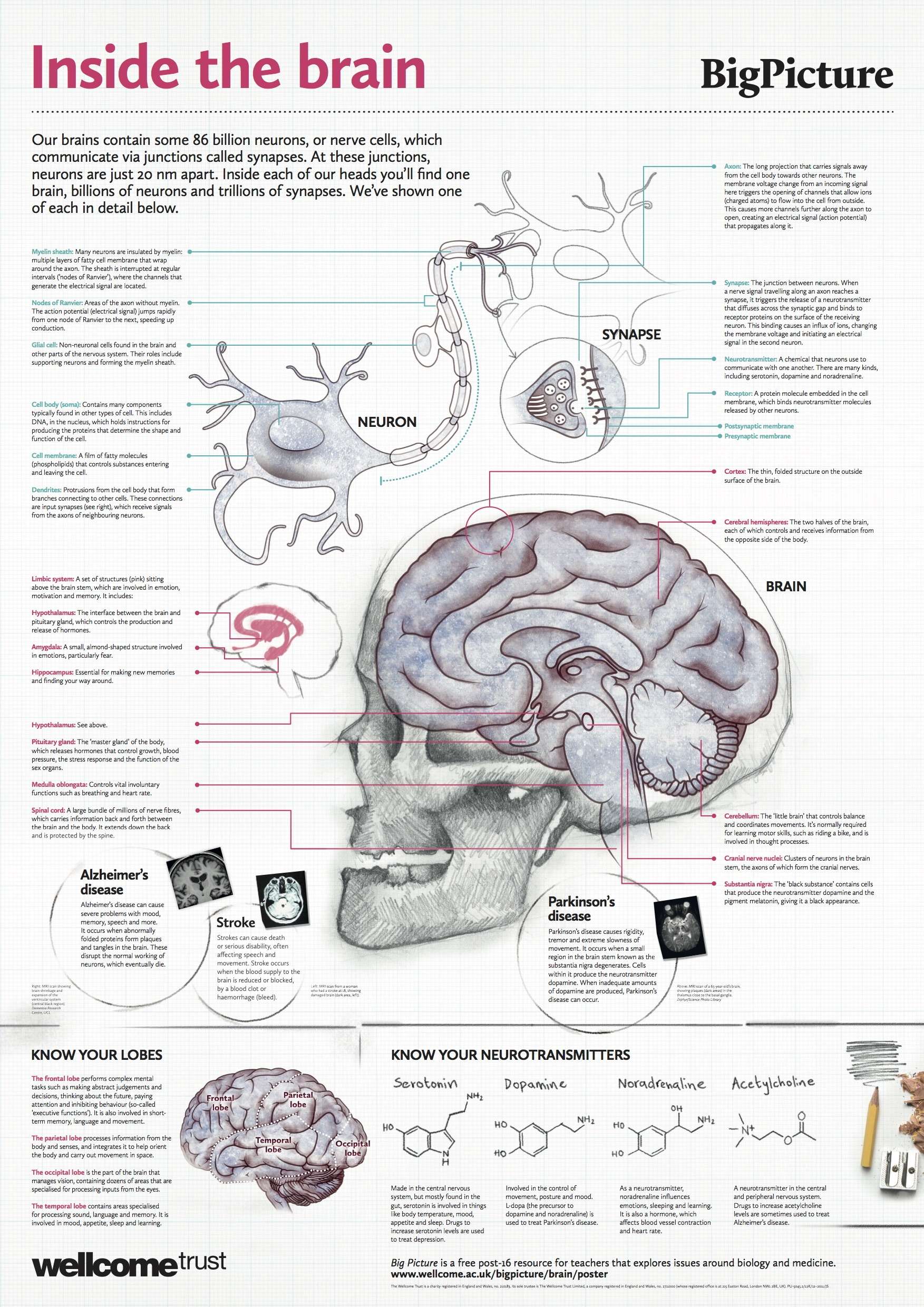 Free Anatomy Posters Download - Anatomical Poster - Free Printable Anatomy Pictures
