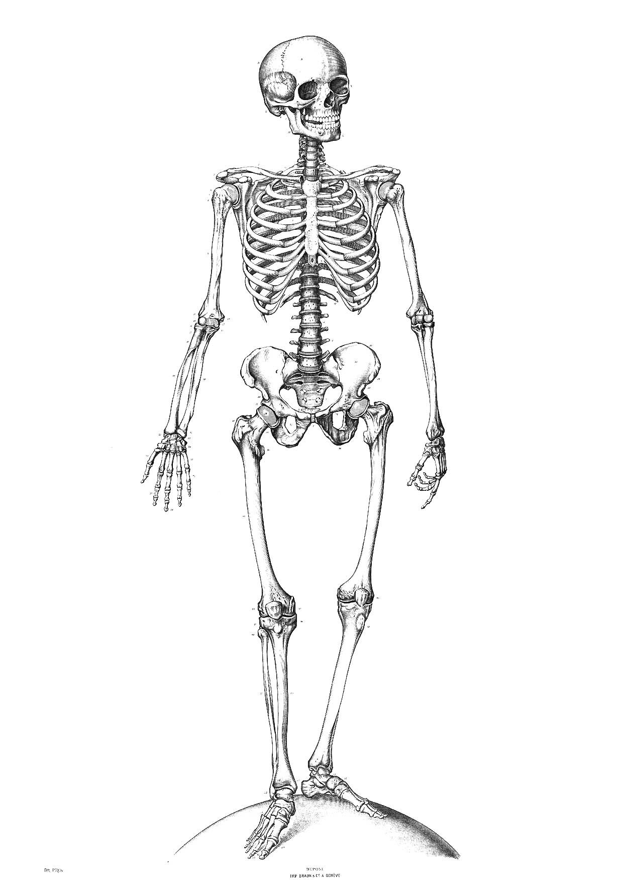 Free Printable Skeleton Coloring Pages For Kids   Classical - Free Printable Skeleton Coloring Pages