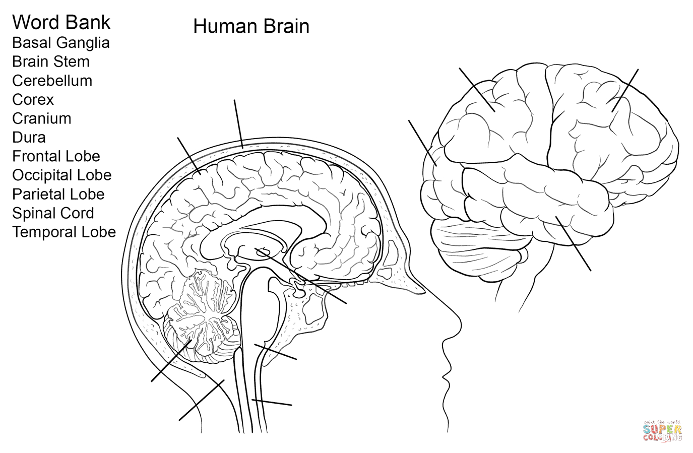 Human Brain Worksheet Coloring Page | Free Printable Coloring - Free Printable Human Anatomy Coloring Pages