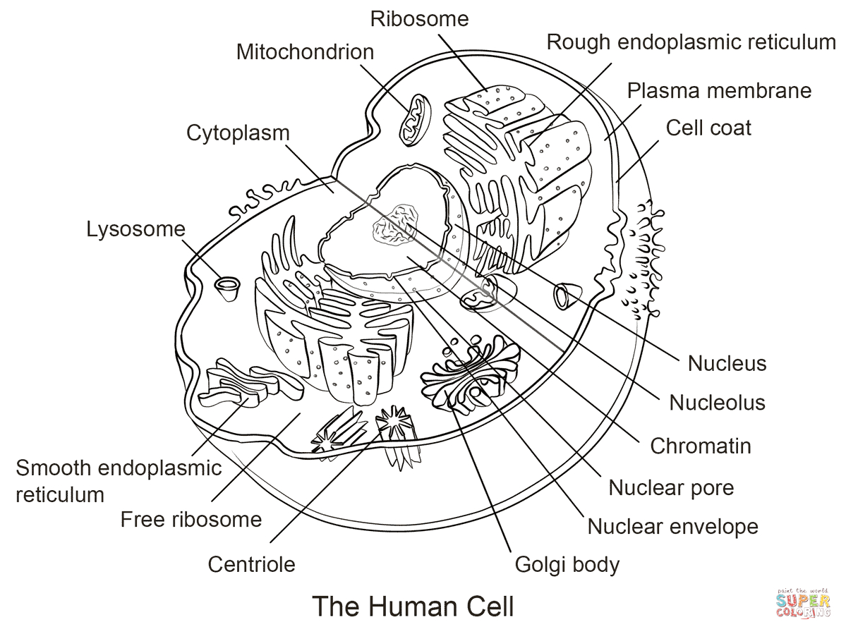 Human Cell Coloring Page | Free Printable Coloring Pages - Free Printable Cell Worksheets