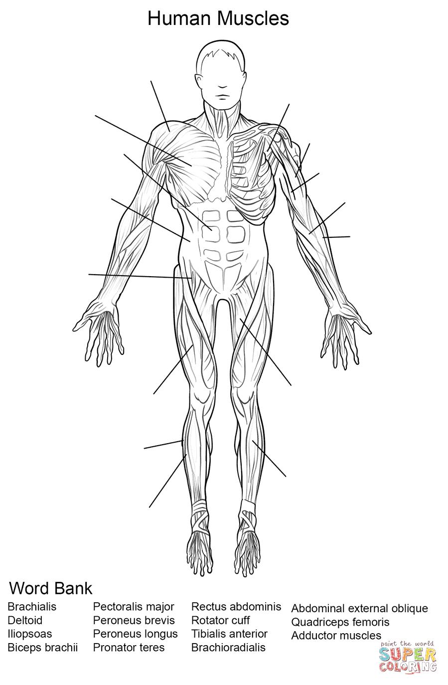 Human Muscles Front View Worksheet Coloring Page   Free Printable - Free Printable Human Anatomy Worksheets