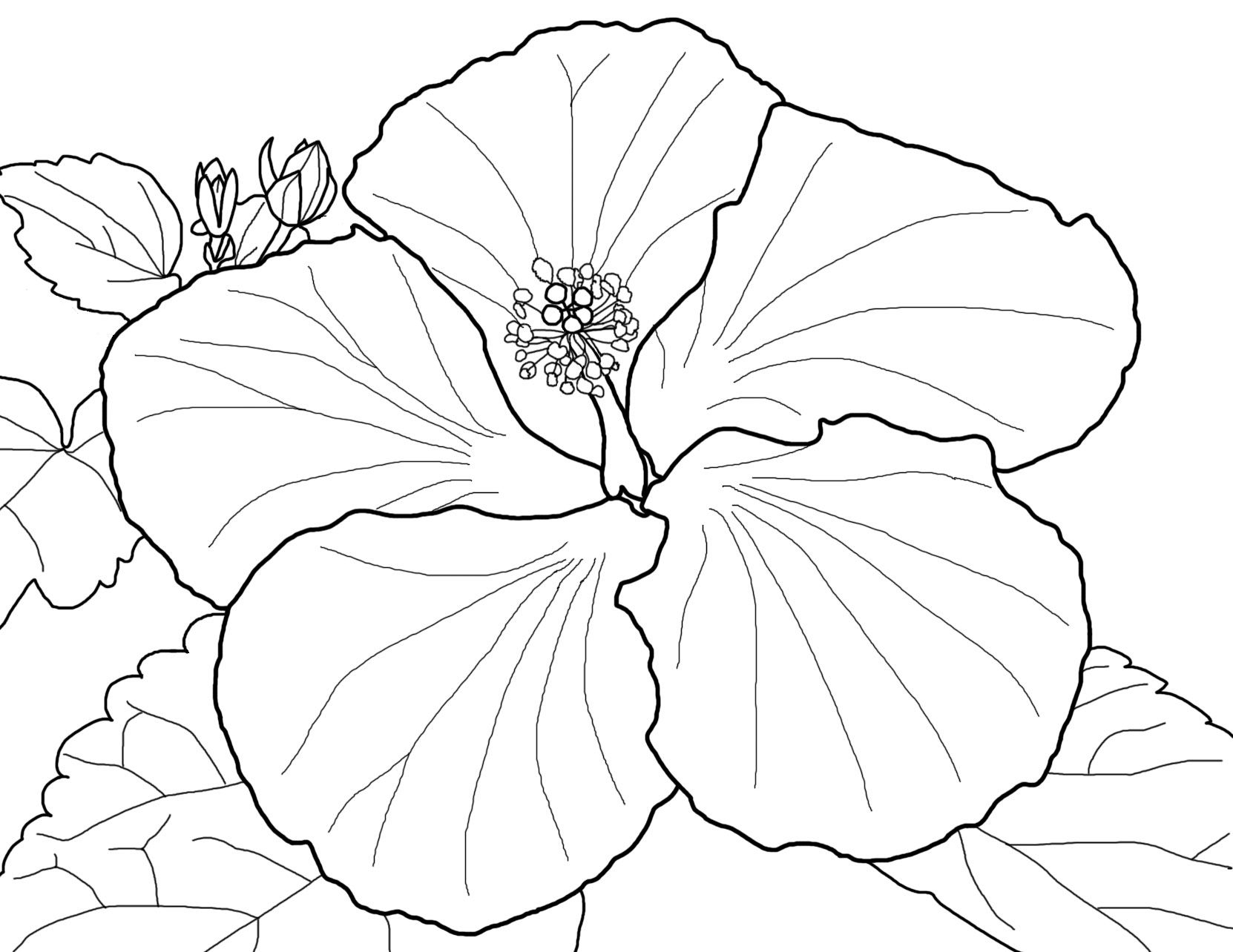 Search Results For Hibiscus Coloring Pages On Getcolorings - Free Printable Hibiscus Coloring Pages